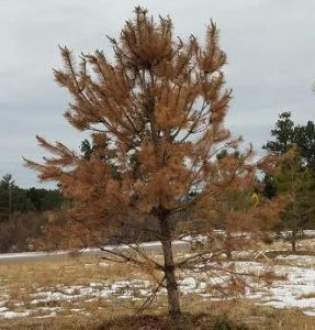 Pine Beetle and Ips Treatment with Bailey Tree LLC