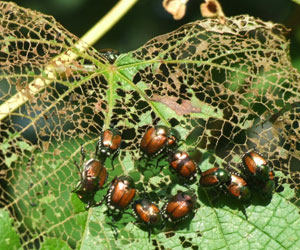 Japanese Beetle Treatment by Bailey Tree LLC