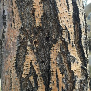 Lilac Ash Borer Treatment with Bailey Tree LLC