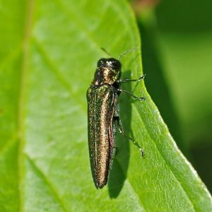 Emerald Ash Borer Treatment with Bailey Tree LLC